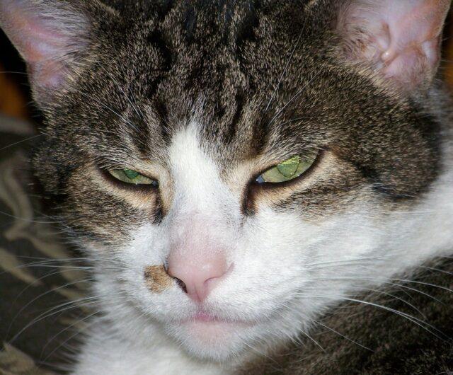 怒っている表情の猫