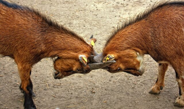 ヤギ2頭が頭を突き合わせて戦っている